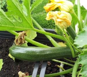 14-05-28 Zucchini erste Ernte 2